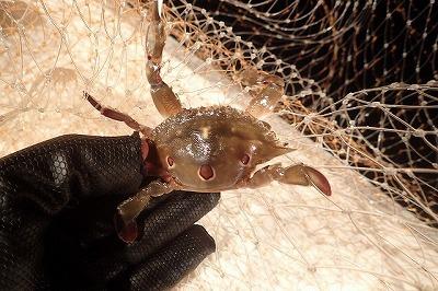 夜焚きのイカ釣り船周りではいろいろなものが掬える。これはジャノメガザミというカニ。