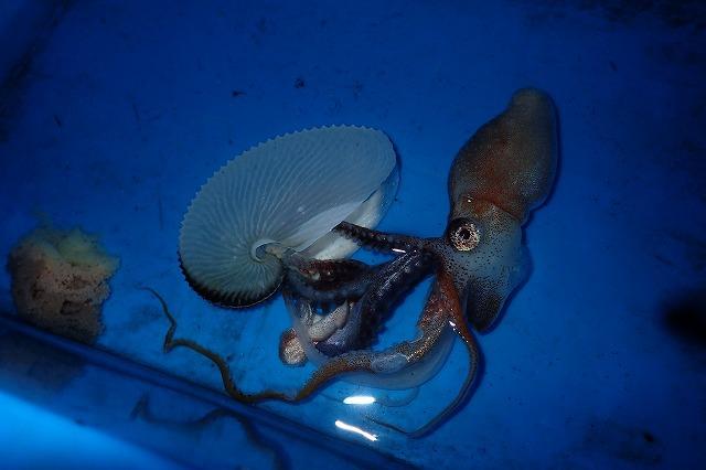 やがて、ある個体が殻を脱ぎ捨てた!こうして見ると、たしかに本体はまごうことなきタコだ。