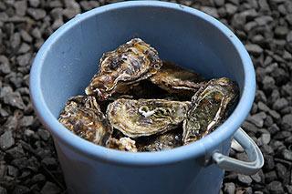 バケツにどっかり入った牡蠣。どっちかが小長井産で、