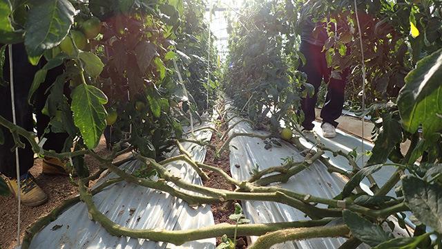 トマトは一年くらいかけてものすごく長い木になります。