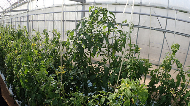 防根シートを根が突き破ると他と比べ明らかに大きな株になる。こうなるとフルーツトマトではなく普通の野菜トマトが実る。