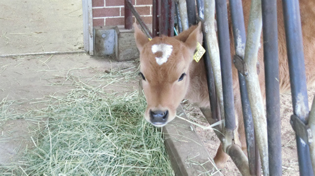 かわいい子牛も出てきます!