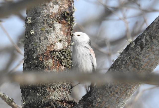 北海道、ご当地野鳥のシマエナガ(これは小さい)