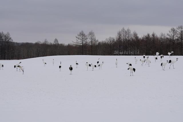 鶴居・伊藤 タンチョウサンクチュアリ。雪景色に生えるタンチョウたち。