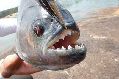 有名な鋭い歯は唇の下に収納されている。これがホントに危ない。