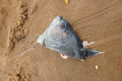 大きなピラニアの頭がエサ。豪快な魚釣りだ