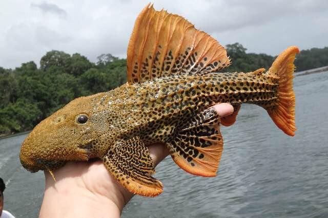 ワタワタという綺麗なナマズ(観賞魚界で言うところのプレコ)の仲間を捕まえたり