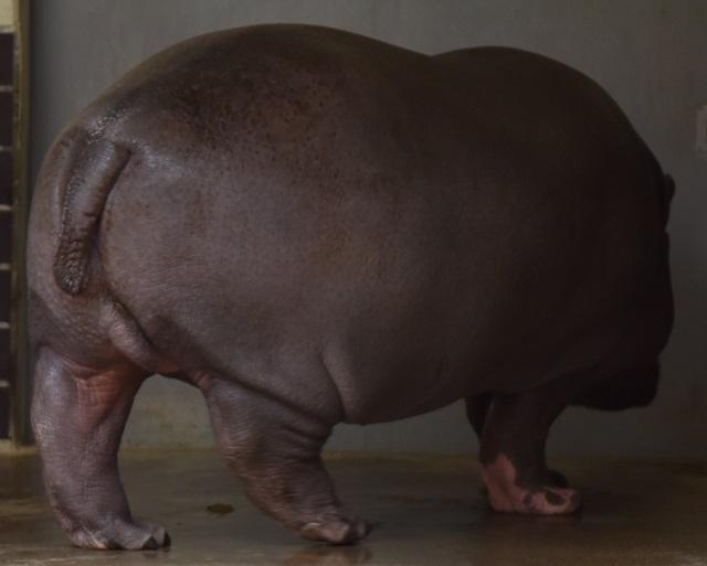体重およそ軽トラ数台分。豚なんかより遥かにでぶい