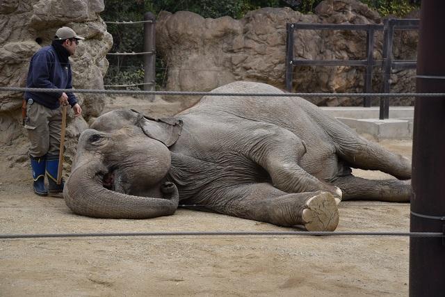 カバに次いでBMIが高かったのはゾウ。オスの体長は5~6.4m、体重は5.4t、BMIは131.84であった。実際、ゾウの体脂肪率はかなり低くエグザイル級であるとする(ヒトケタ台)文献もあった。