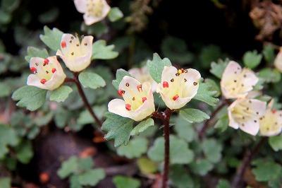 だが春は確実に訪れているぜ。とても可愛いハナネコノメが咲いていた。