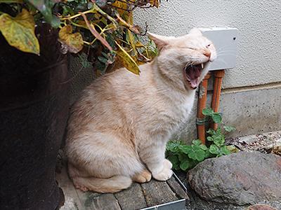 上を向いて大あくびする鵜匠さん宅の猫ちゃん