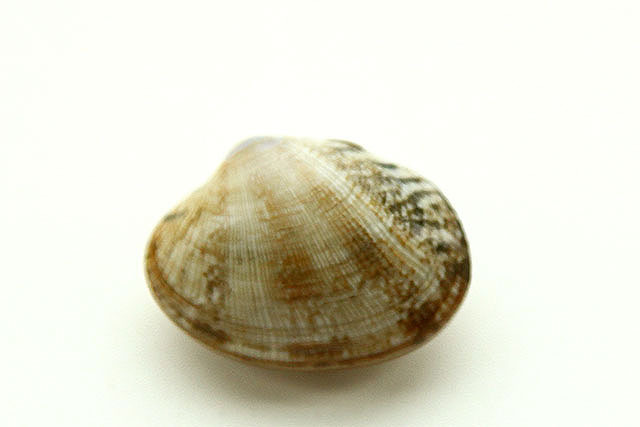 A clam.