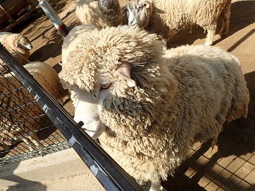これは川向かいにある五月山動物園の羊。