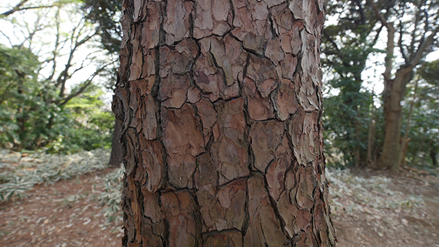 樹皮が痛い。とっつきにくい。クロマツに比べて赤い。なるほどこれが個性か