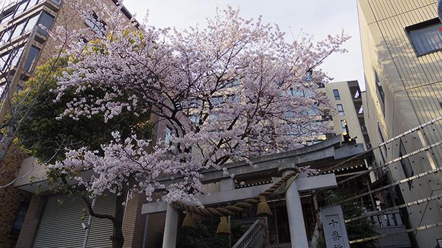 立派な桜が