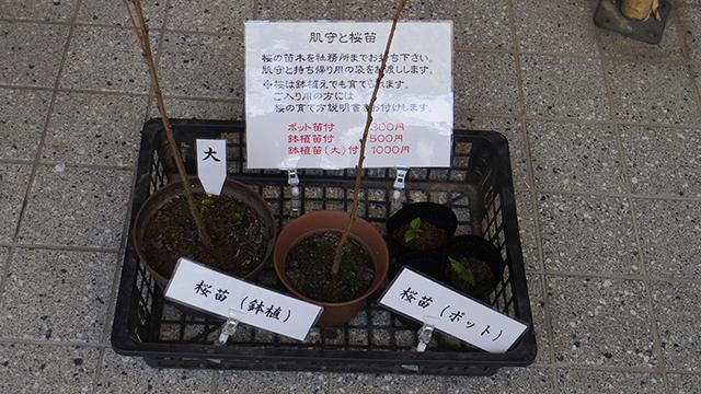 桜の苗木、大・中・小