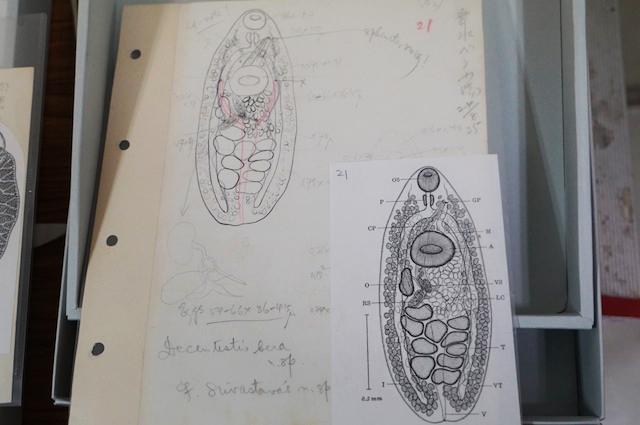 左仲のスケッチ(左上)とそれをもとに画工によって描かれた画。各器官のサイズや構造まで細かく指示されている。