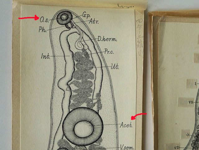 一番上の、ぎょろっとした目玉にも見えるところ。下にも似たような器官がある。