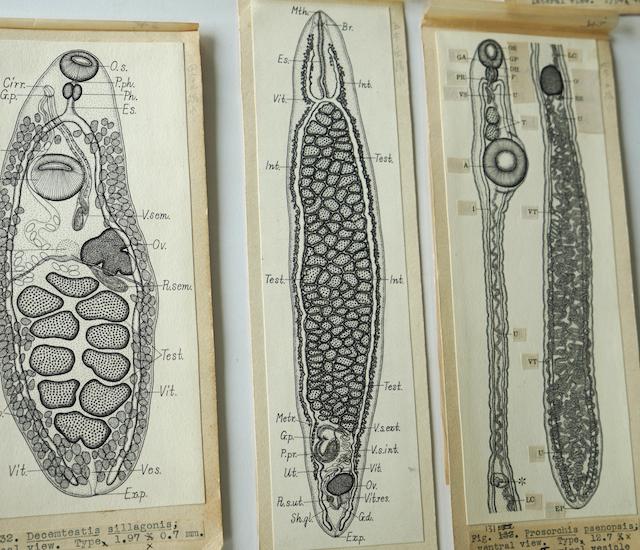 中央の吸虫には「O.s.」も「Acet.」もない。住血吸虫といって血管内に寄生する種だ。