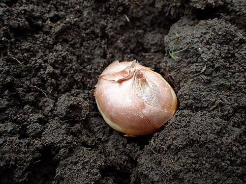 サトイモの植え付けみたいですね。