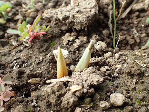 これ、サフランの芽でいいんだよな。