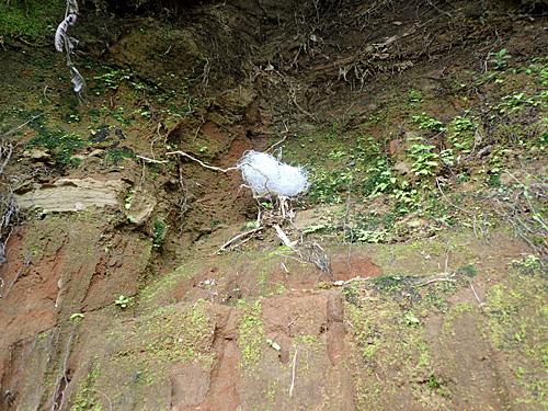 地上15メートルの断崖絶壁に作られたツバメの巣(実際は目線の高さ)。