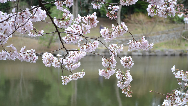 桜が季節通りに咲く!