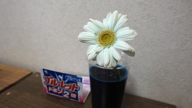ブルーレットでも成功。ブルーレットのニオイはきついが花自体は無臭。