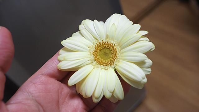 嗅ぐとしっかりカレーの香りがする。カレーが食べたくなる花だ。
