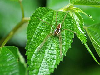かっこいいクモ。マクロレンズって楽しい。