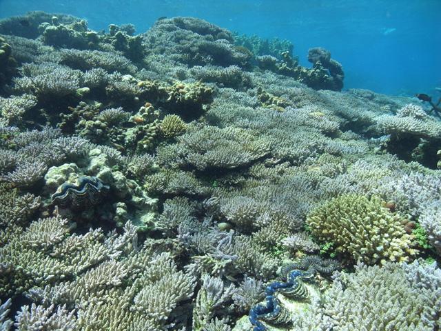 沖ノ鳥島周辺のサンゴ礁の様子 (画像提供:国土交通省関東地方整備局京浜河川事務所)