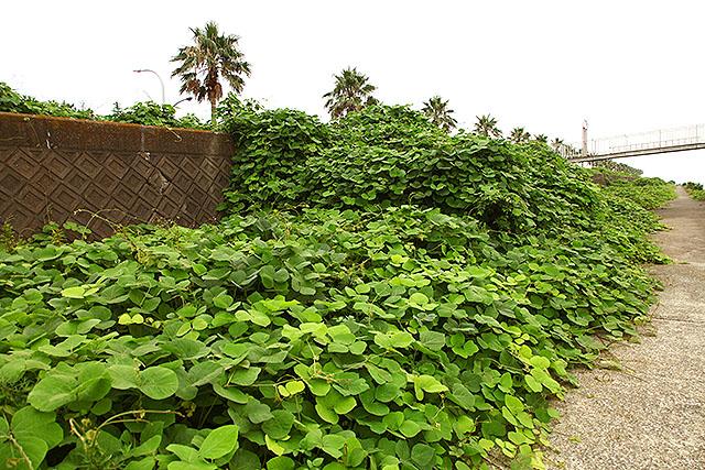 ワールド・ウォーZでイスラエルの壁を越えるゾンビの群れみたいな植物。