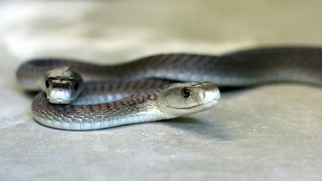 最強の毒蛇、ブラックマンバ。こわエロかわいい