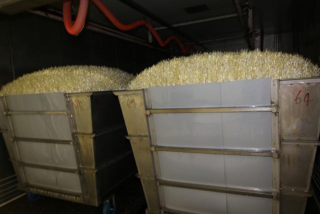 さて、豆から7日目の栽培室。なんかとんでもないことになってないか。