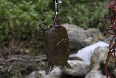 そいうえば以前のオオウナギを捕まえる記事でもうっかりすっぽんが釣れていました。