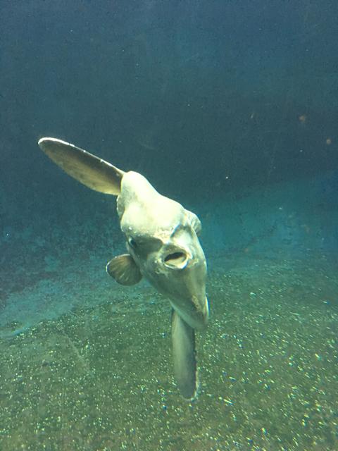 写真もきったんさんから。「こんなふざけた顔の魚でも、海の中で生きていけるのだから、世の中は思っているよりも甘いのかも。」名言いただきました