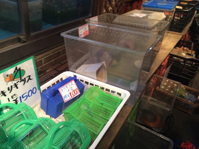 キリギリスのオスが1500円