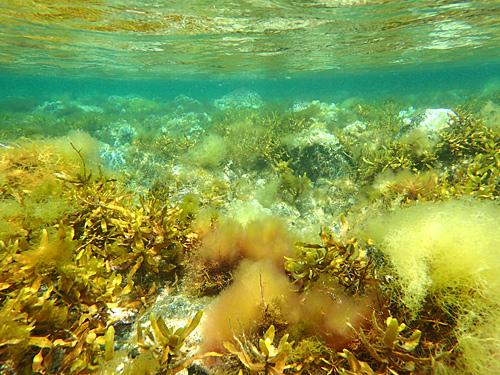 なにやらモワっとしているのは、写真のブレではなくモワっとした海藻。