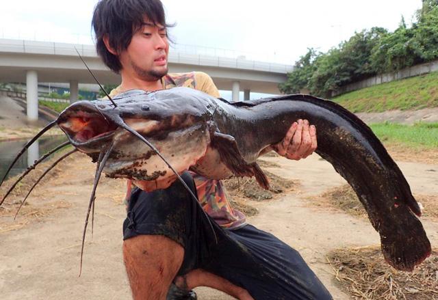 香港で捕獲したクラリアス。そろそろ魚のサイズに対する感覚がマヒしてくる