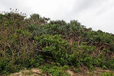 低木(特にアダン)が密に茂りすぎていて分け入れない!