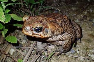 石垣島の外来生物として忘れてはならないのが、やはり南米原産のオオヒキガエル。温暖な南西諸島では容易に熱帯産の生物が帰化、定着してしまうのだ。