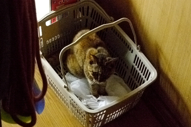 鳴き声がしたので様子を見に行くと、なぜか洗濯カゴに入っていてギョッとした。普段しない猫の行動を見ると驚くものだ