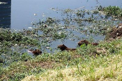 地球の裏側で温泉に浸かるカピバラもいれば、原産地でドブを泳ぐ同胞もいるのだ。