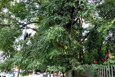 街路樹も生えておる。トロピカルなやつが。