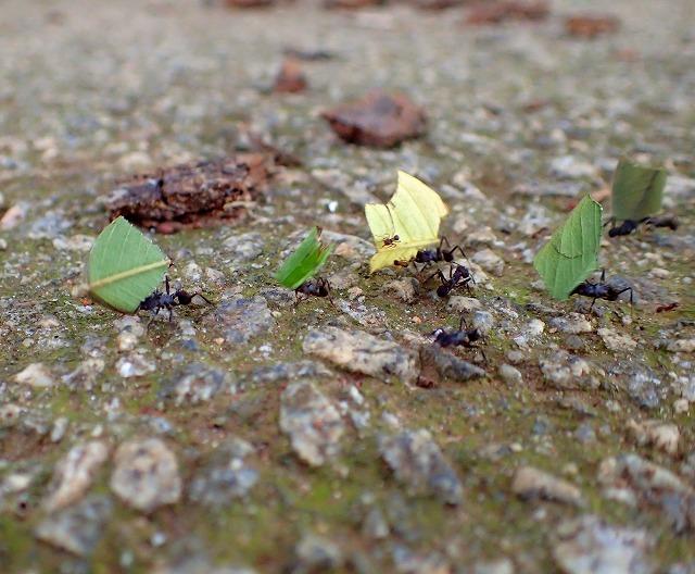 切った葉っぱをせっせと運ぶアリたち。これぞハキリアリ!ブラジルではまったく珍しい存在ではないようだ。