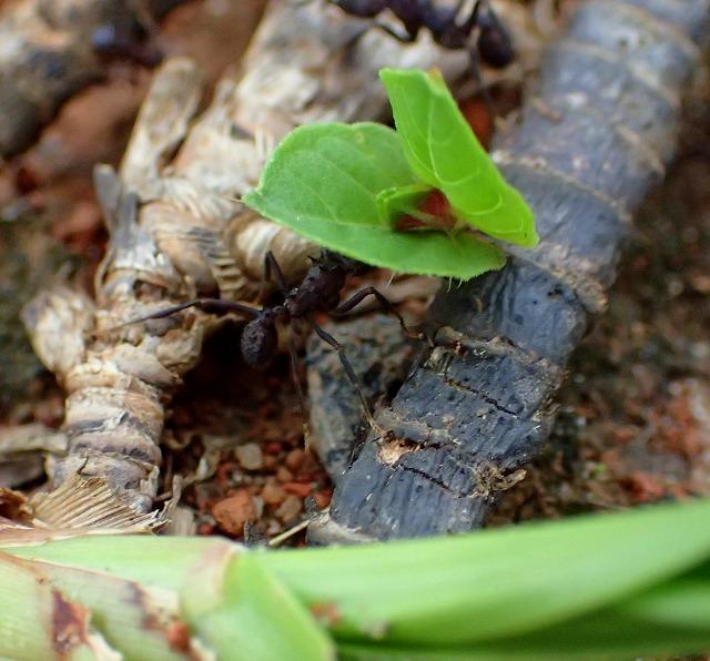 葉を運ぶハキリアリ。よく見るとボディーはトゲトゲ。仕事は農業だが、ファッションは意外とヘビメタ調である。
