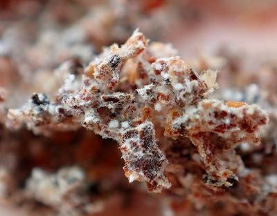 白い部分は菌糸体と呼ばれる部位で、ハキリアリたちはここを「収穫」して食べている。拡大してみると、細切れになった植物片が菌床となっていることがわかる。