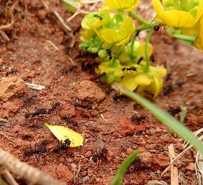 喜々として花びらをちぎっては次々に巣へ運んでいく。ああ、かわいらしい。仲間が食われているっていうのに、巣からキノコを強奪されてるっていうのにのんきなもんだぜ。