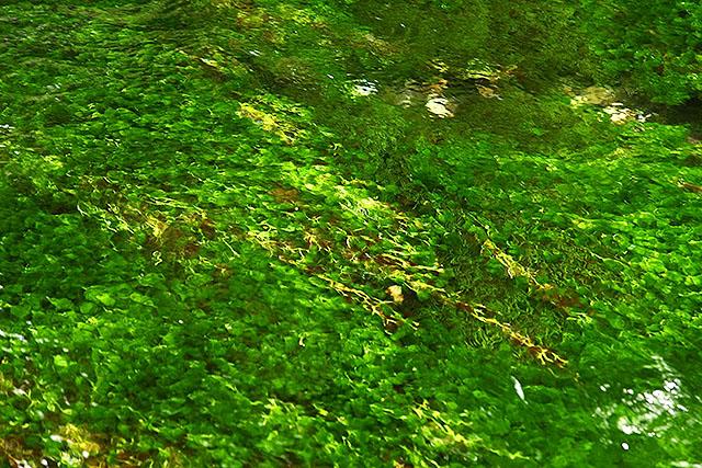 透明な流れに揺れる、鮮やかな水草。