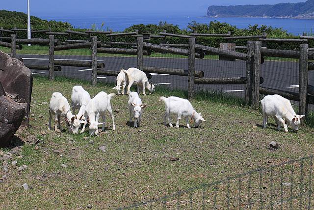 岩にはヤギが暮らしている。